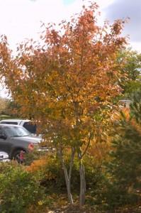 Autumn Brilliance Serviceberry_2