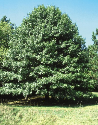 pine valley mature personals Big trees nursery offers  mature specimen trees to our clients in california & the southwest 15' to  big trees nursery 12450 highland valley rd escondido .