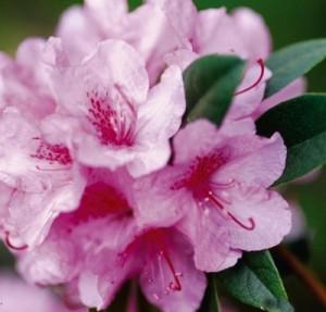Aglo Rhododendron