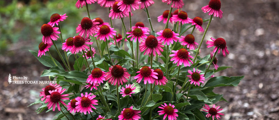 delicious candy coneflower slider