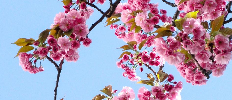 slider tree blossoms