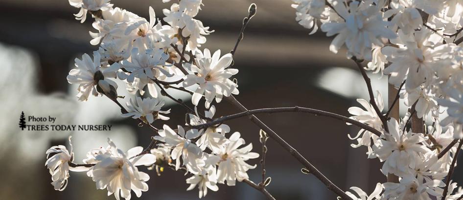 slider white star magnolia