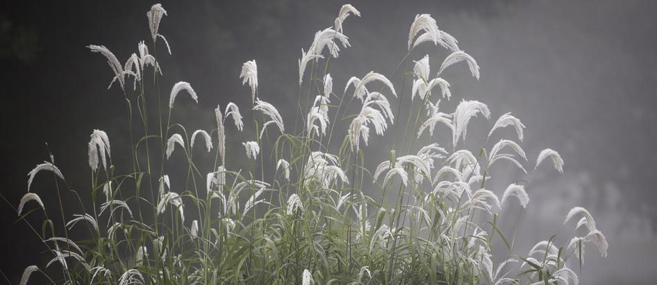 slider white plumes cyanne