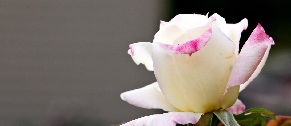 slider music box rose