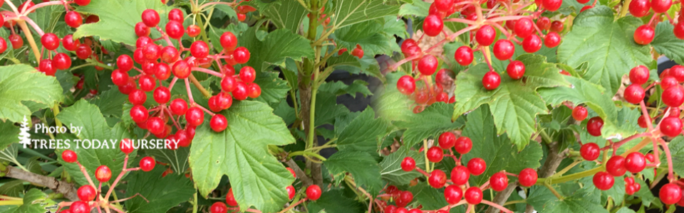compact european cranberry bush slider