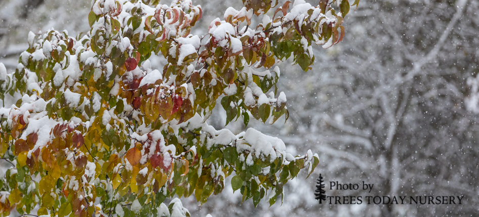 winter slider Autumn Blaze pear
