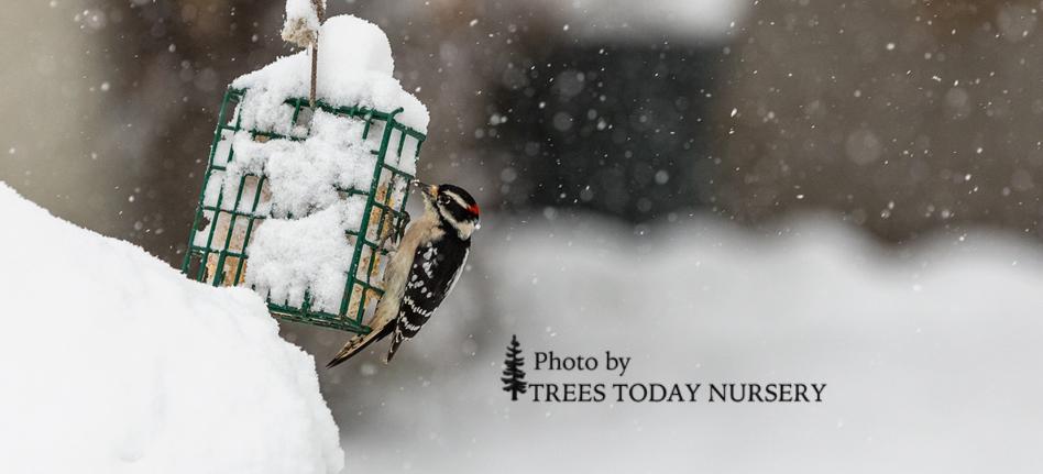 winter slider woodpecker