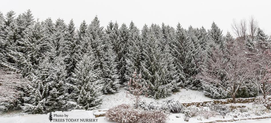 Spruce treeswinter slider