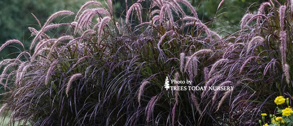 purple grass fountain grass