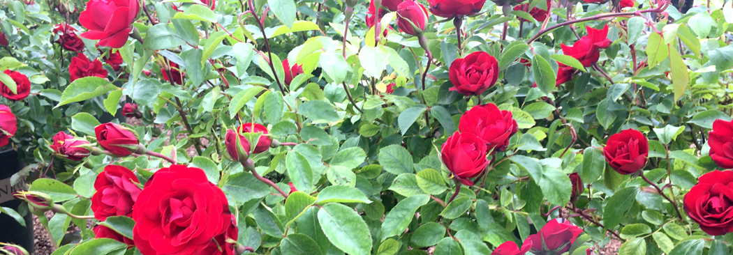 cover grace 'n grit red rose